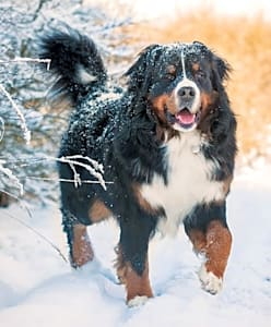 This is a berner